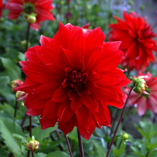 Picture of Babylon Red