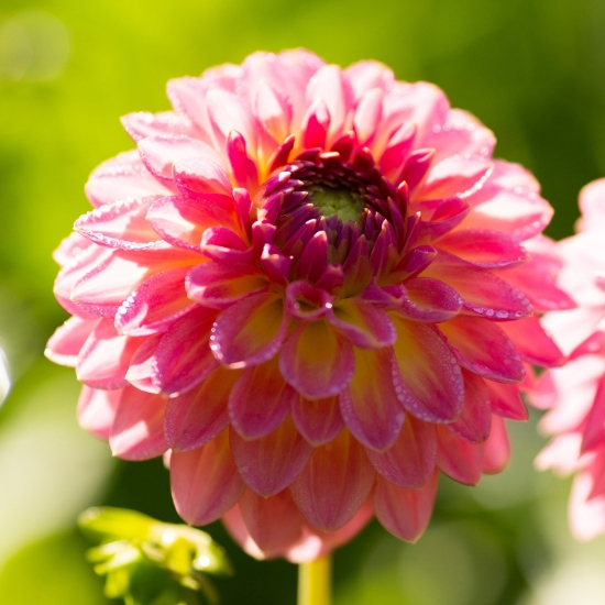 Picture of Pink Suffusion