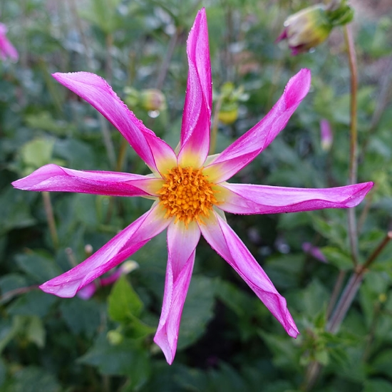Picture of Honka Pink