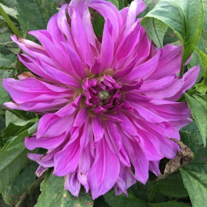 Picture of Lavender Ruffles