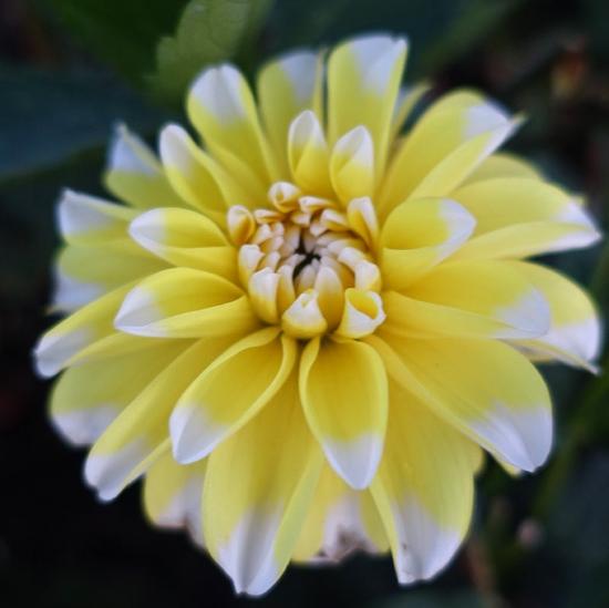 Picture of Lemon Cane