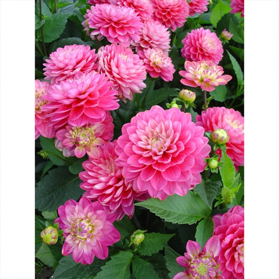 Picture of Melody Allegro Rose