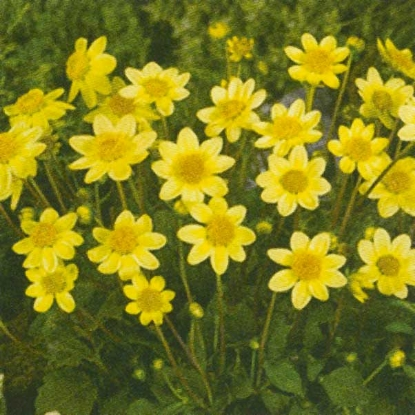 Picture of Topmix Yellow