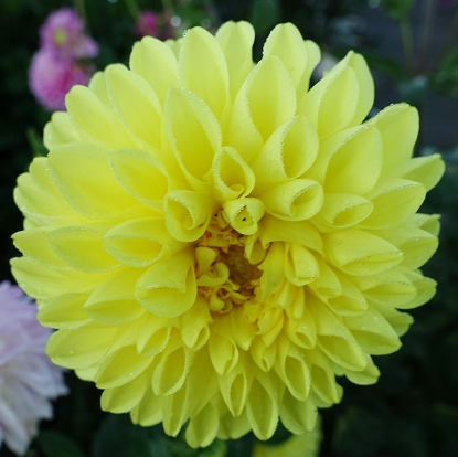 Picture of Yellow Symphony