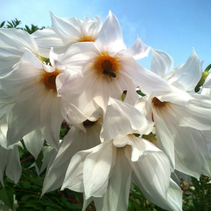 Picture of Imperialis White