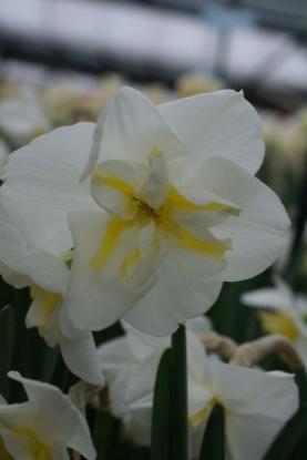 Picture of Lemon Beauty (5st)