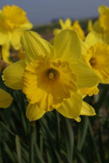 Picture of Narcis Trompet Yellow (12st)