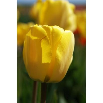 Picture of Golden Apeldoorn (10st)