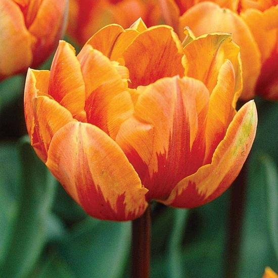 Picture of Orange Princess (6st)