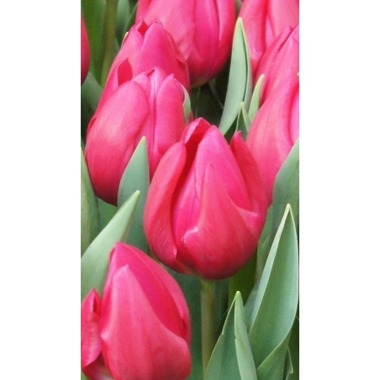 Picture of Pink Ardour (8st)