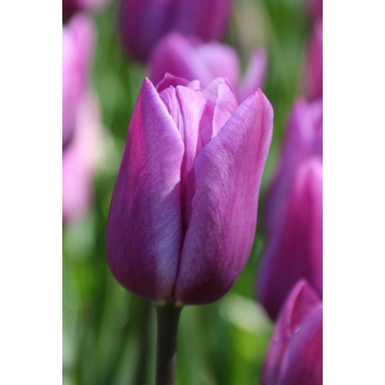 Picture of Violet Beauty (8st)